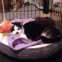 Lily, a black and white female cat, sitting in a brown cat bed, with a red star toy hanging near her head